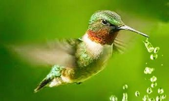 colibri agua 1
