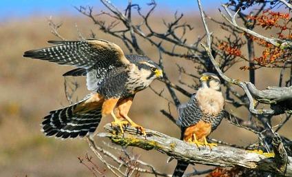 halcones2